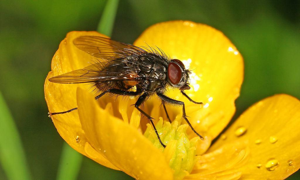 Flue på engsoleie. Foto.