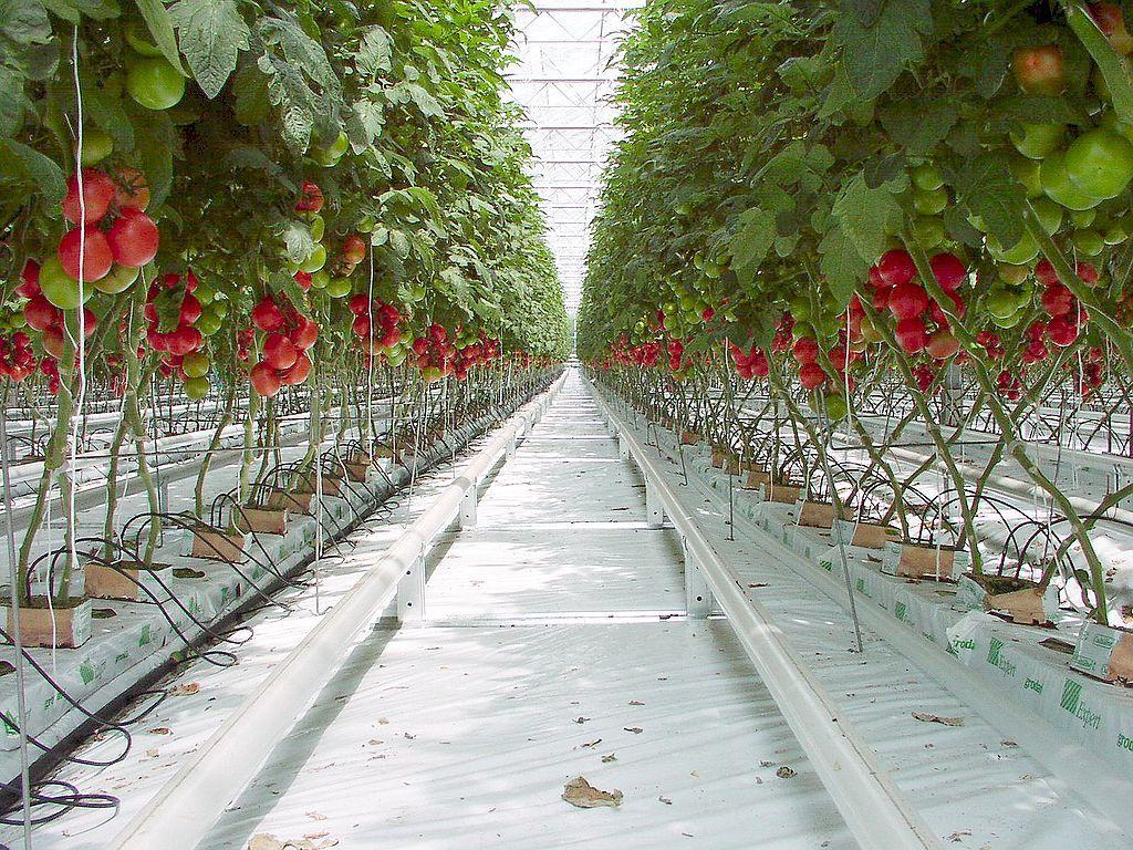 Tomatplanter i drivhus. Foto.