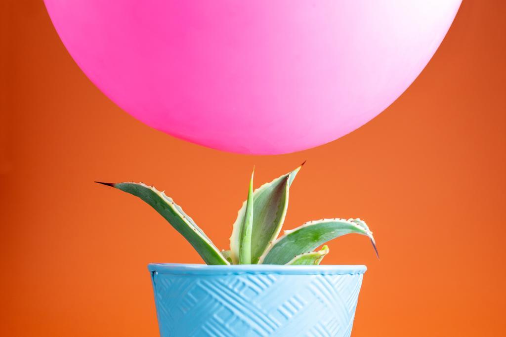 Fargerik ballong svever over skarp spisset kaktus med lys bakgrunn. Foto.