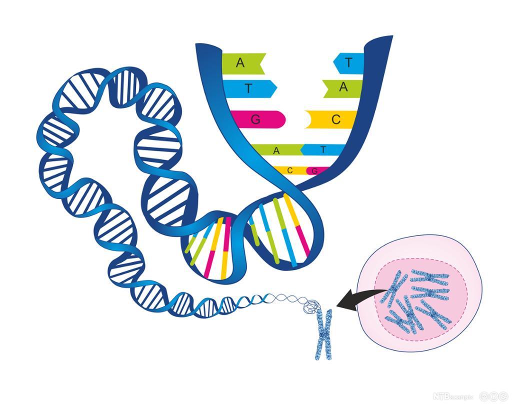 Spiralforma DNA-tråd åpner seg. Grafikk.