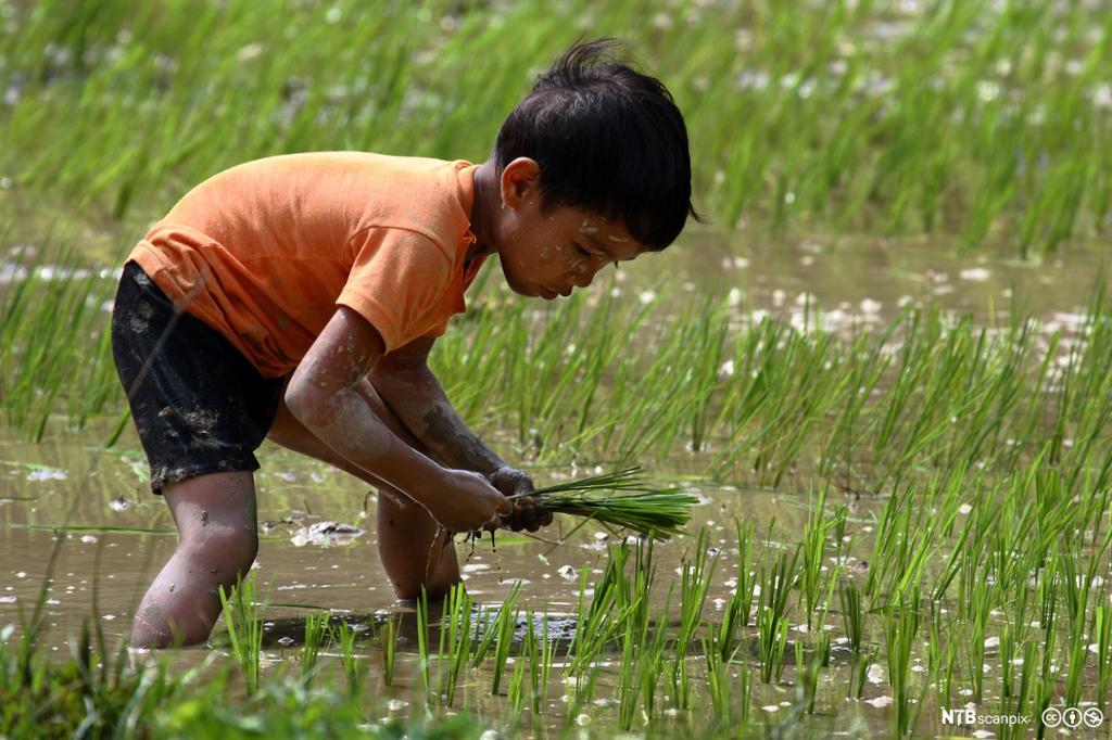 Barnearbeider på rismarker. Foto.