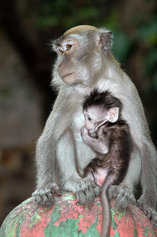 Primater passer godt på avkommet. Foto.