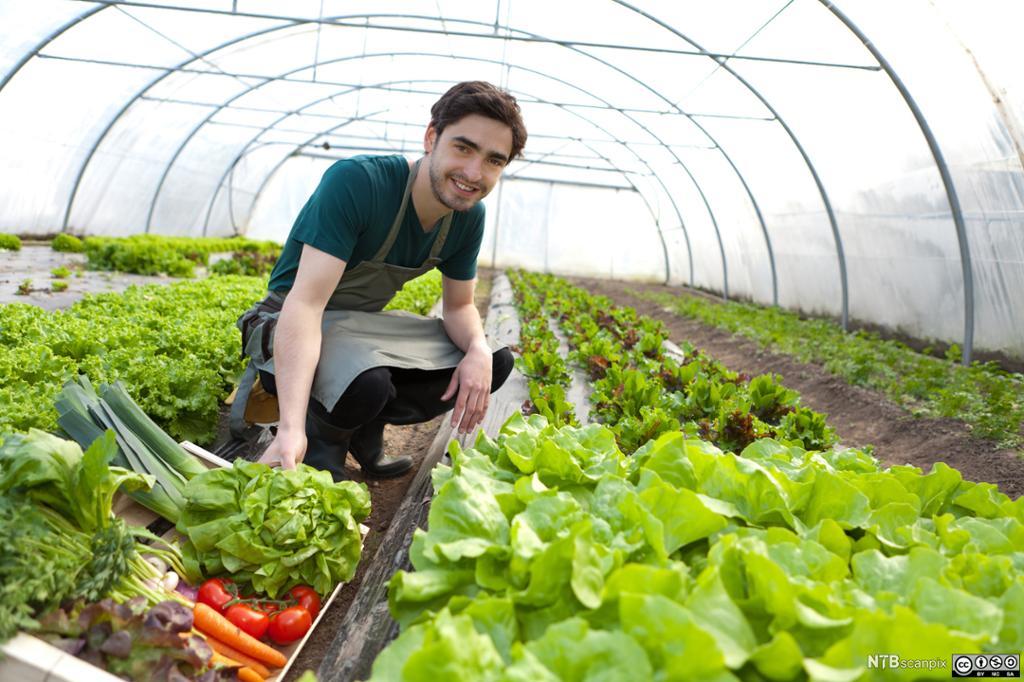Gartner høster grønnsaker i drivhus. Foto.