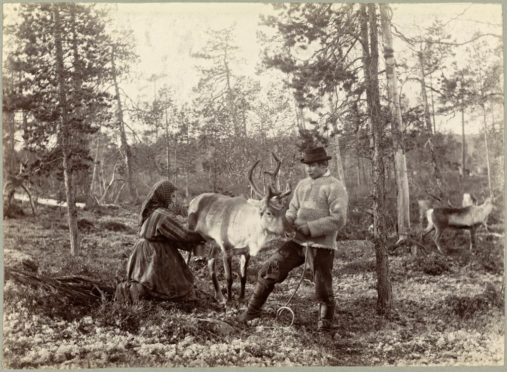 Kvener melker reinsydr i Pasvikdalen på slutten av 1800-tallet. Foto.