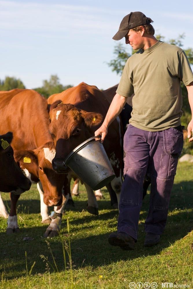 Ein bonde forar kyrne frå ei bøtte. Foto.
