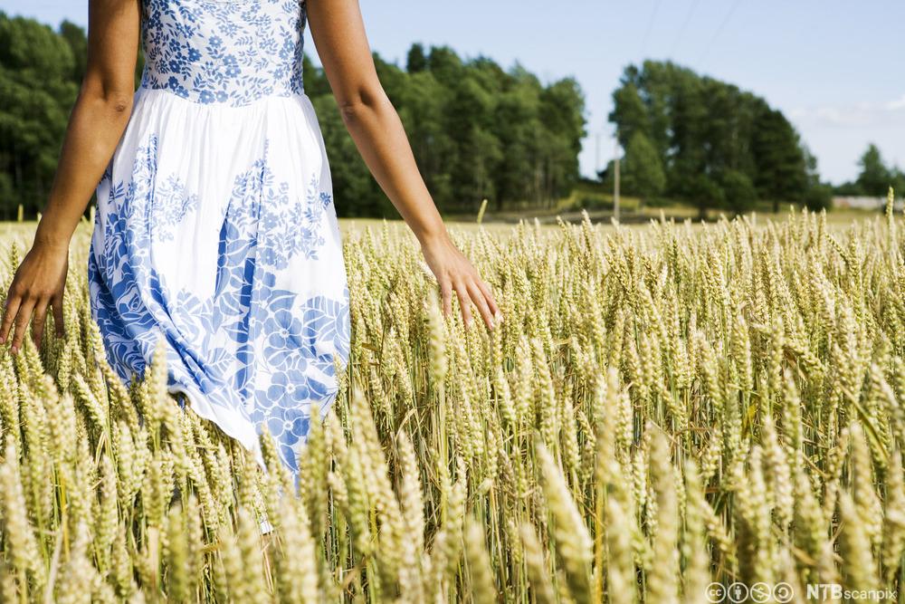 mest dyrket korn i norge