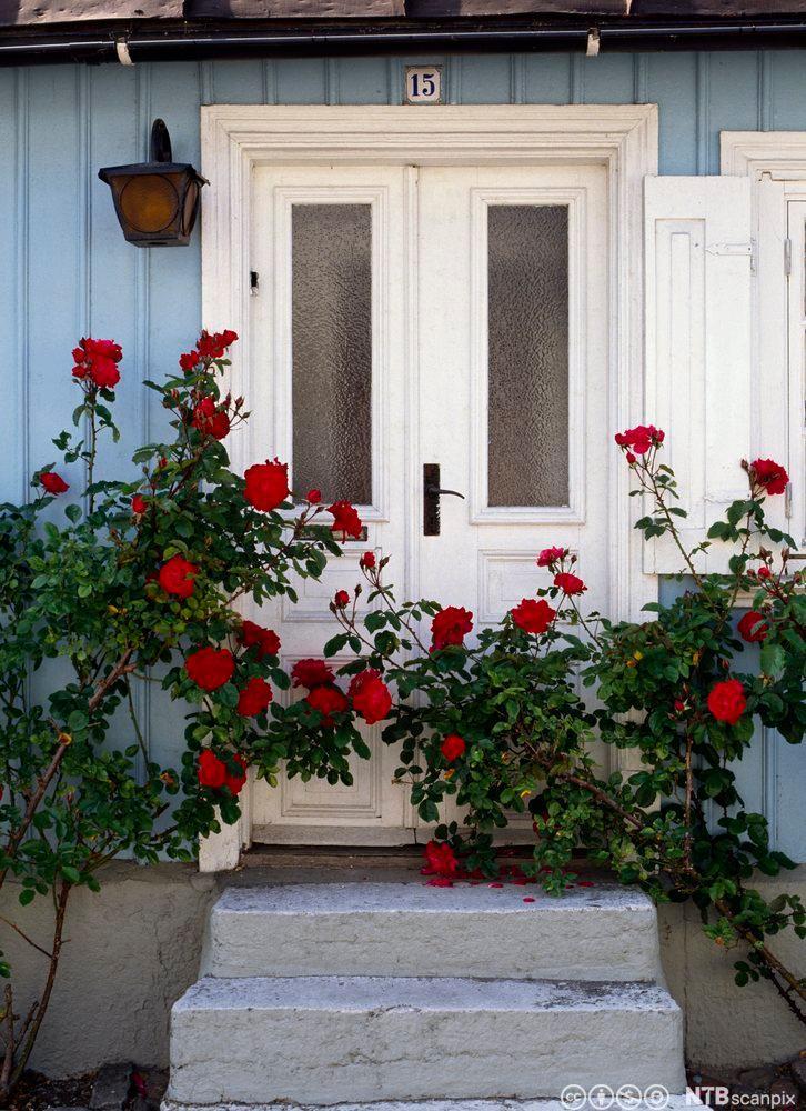 Ytterdør i hus med trapp og rosebusker. Foto.