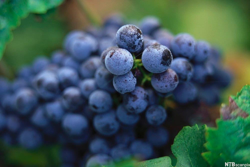 Cabernet Franc druer fra Saumur-Champigny, Loire. Foto.