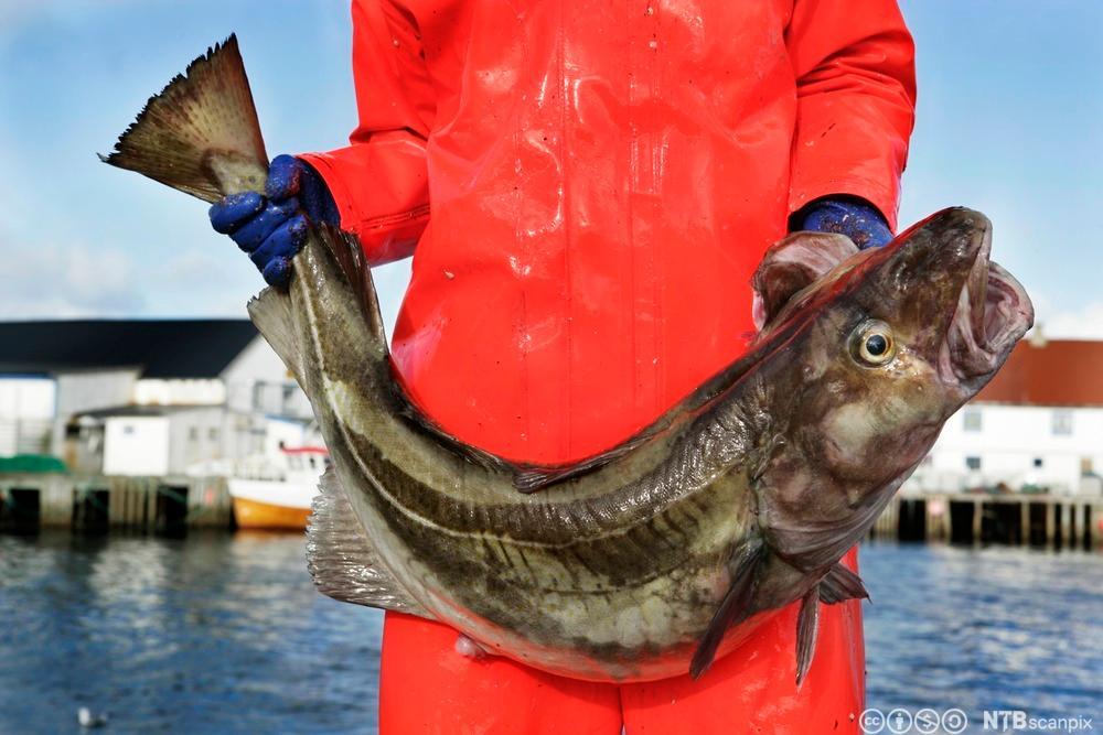 Fisker holder en stor torsk. Foto.