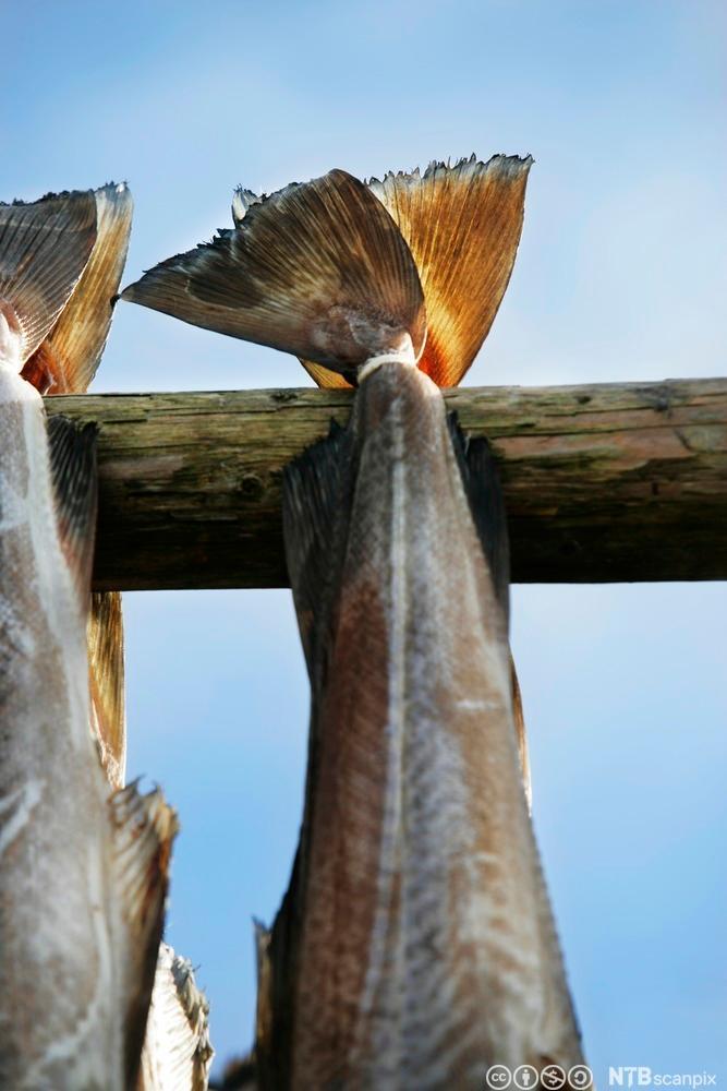 To torsk som heng til tørking. Foto.