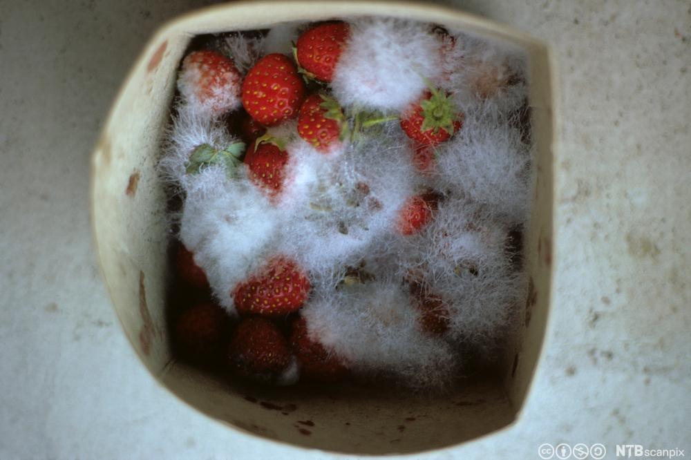 En kurv med jordbær som det er begynt å vokse mugg på. Foto.