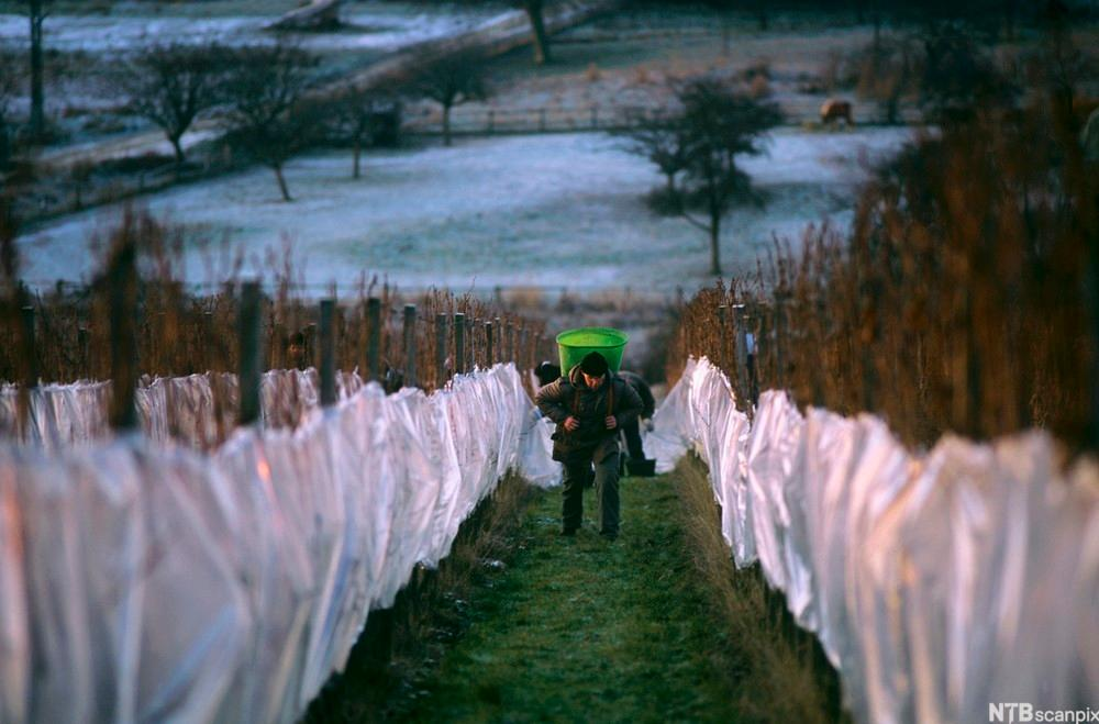 Mann går mellom vinranker med plukkesekk på rggen, frostdekket mark i bakgrunnen.foto.