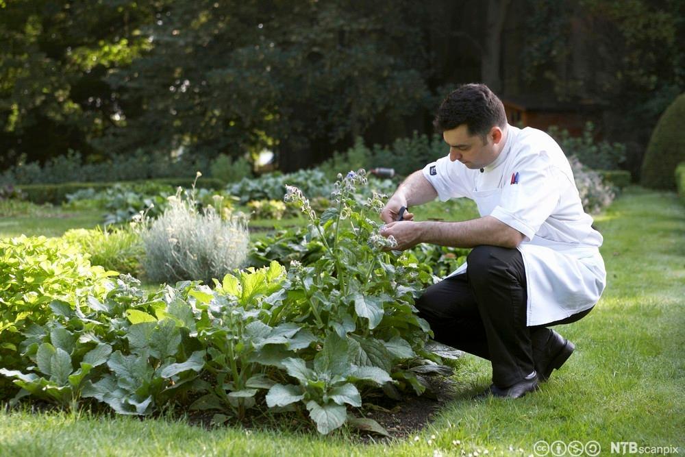 Ein kokk sit på huk og sankar urter frå eit bed. Foto.