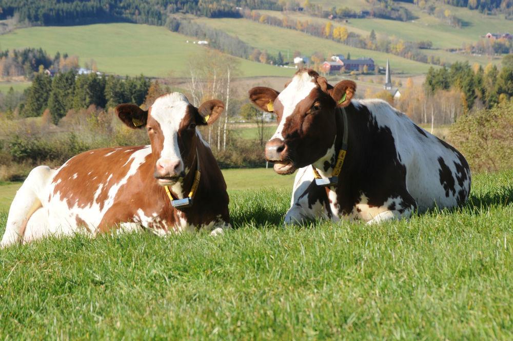 Kyr som tygg drøv. Foto.