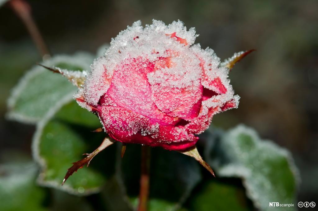 Rose i knupp med rimfrost. Foto.