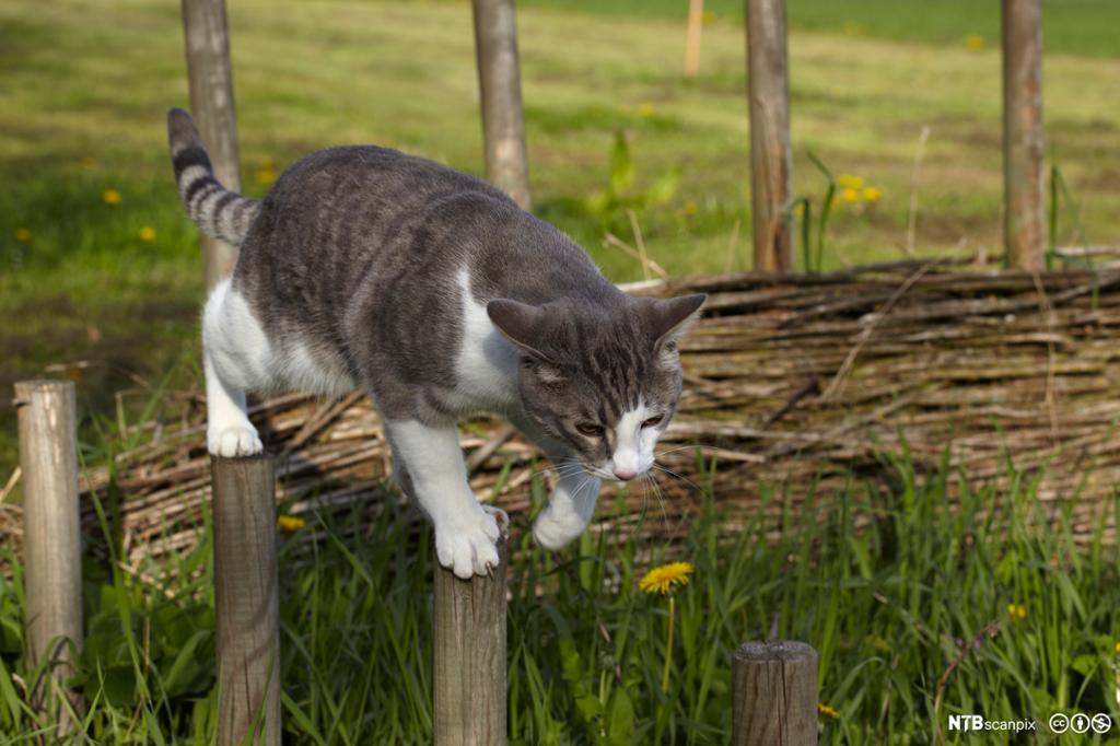 Katt som balanserer på gjerdestolper, fremre bein og bakbein på hver sin stolpe. Foto.