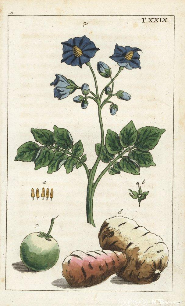 Illustrasjon av potetplanten og poteten. Tegning.