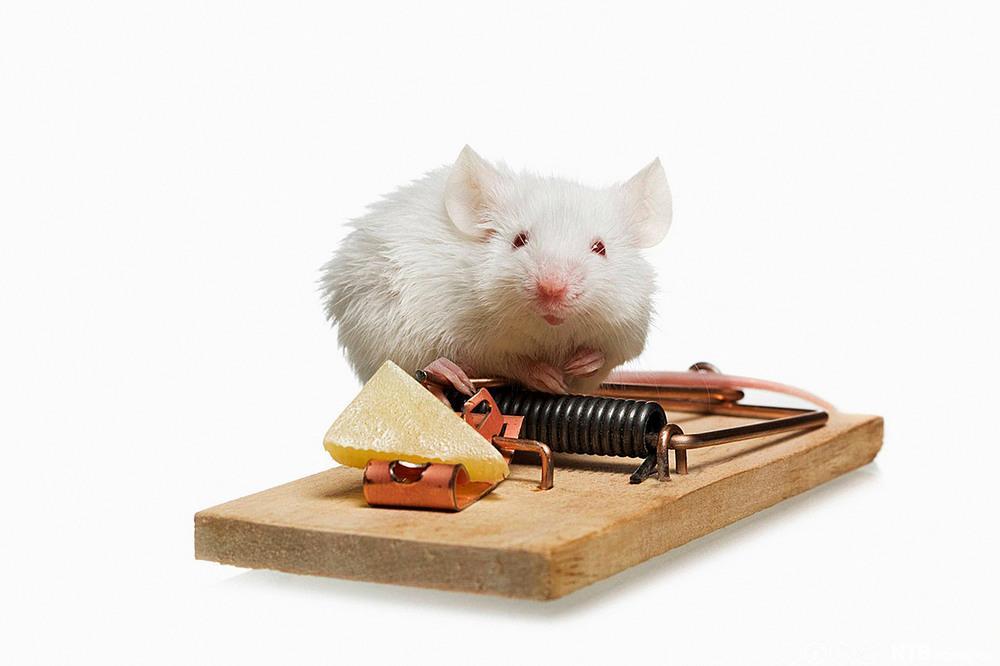 En mus snuser på osten i musefellen. Foto.