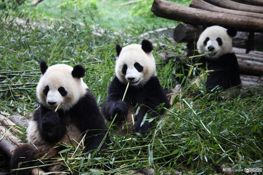 Tre små pandabjørner spiser bambus. Foto.