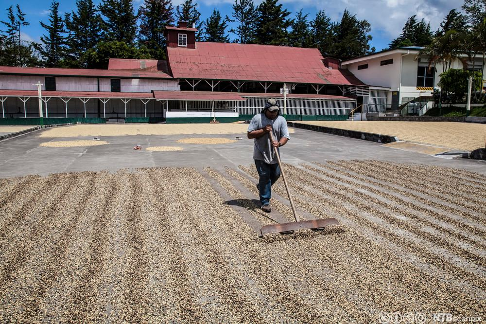 Ein arbeidar snur kaffibønner som ligg til tørking i sola. Foto.