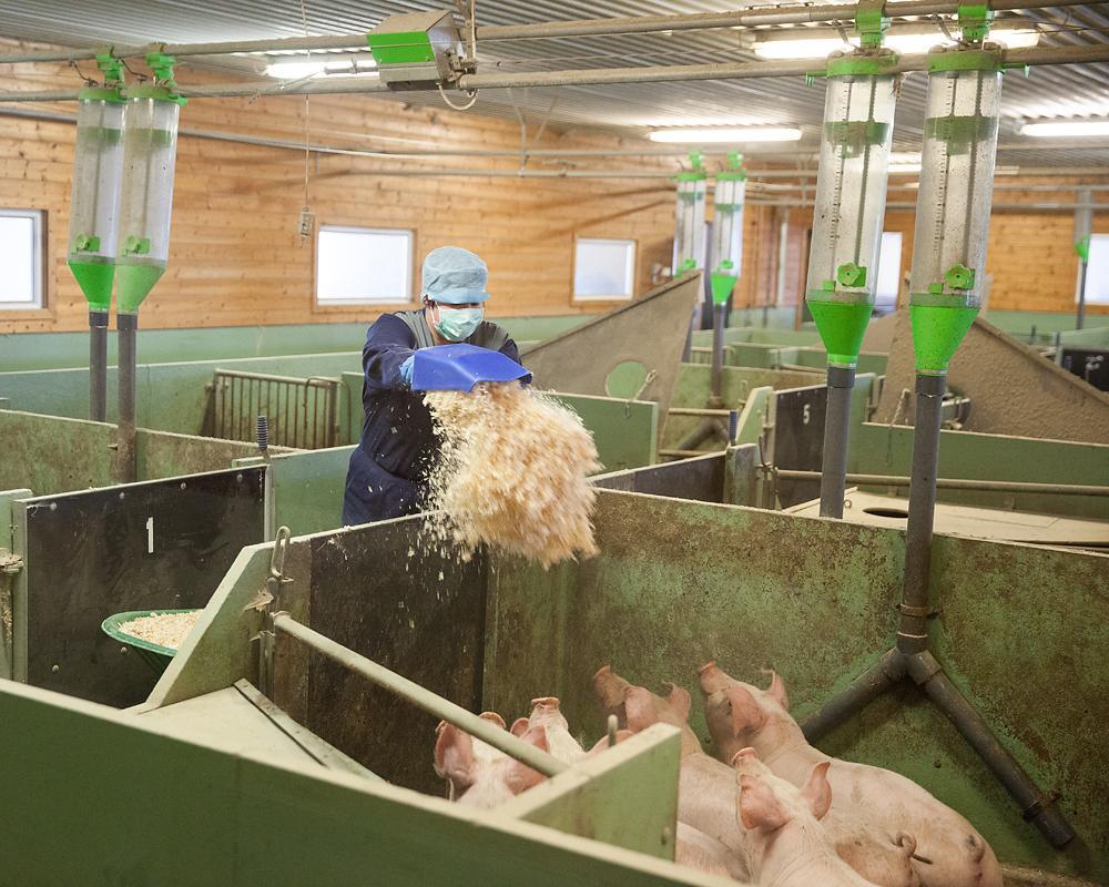 Strøing hos gris. Foto.