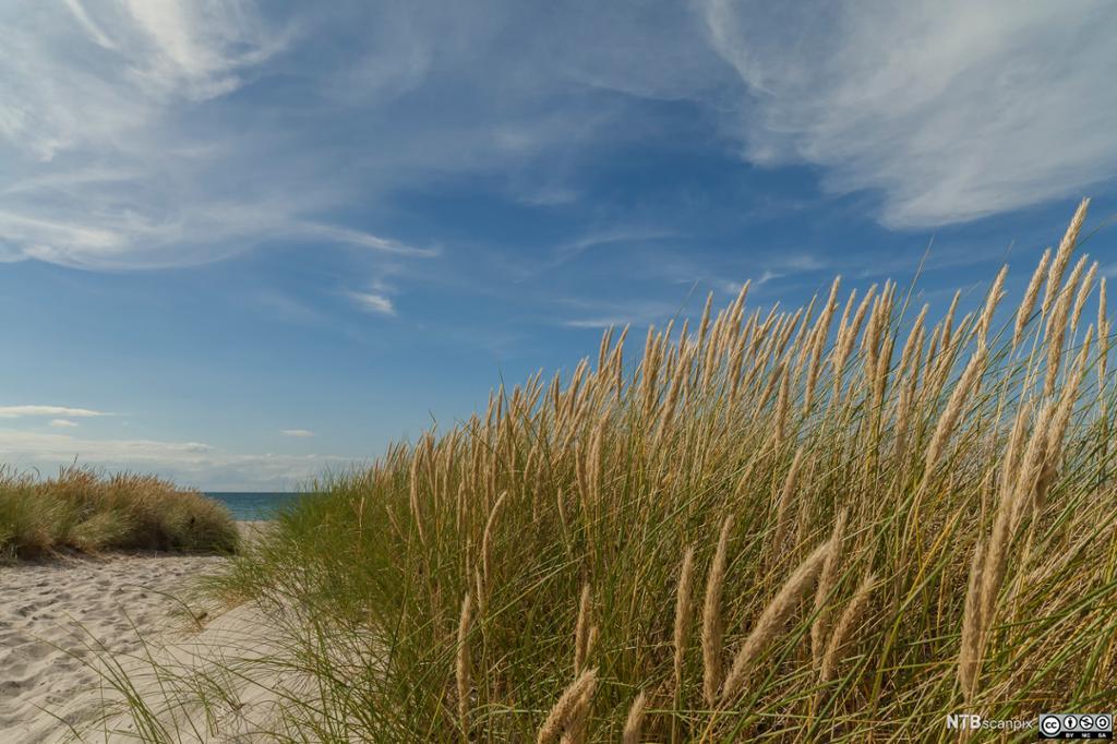 Marehalm på sandstrand. Foto.