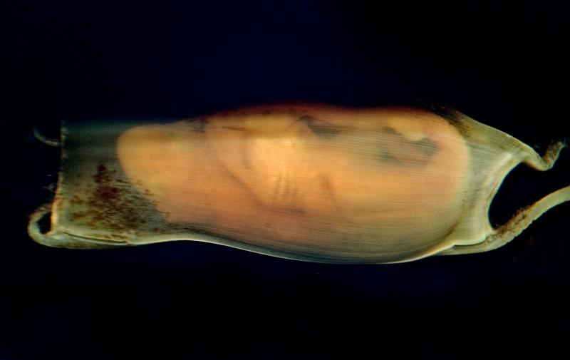 eggkapsel