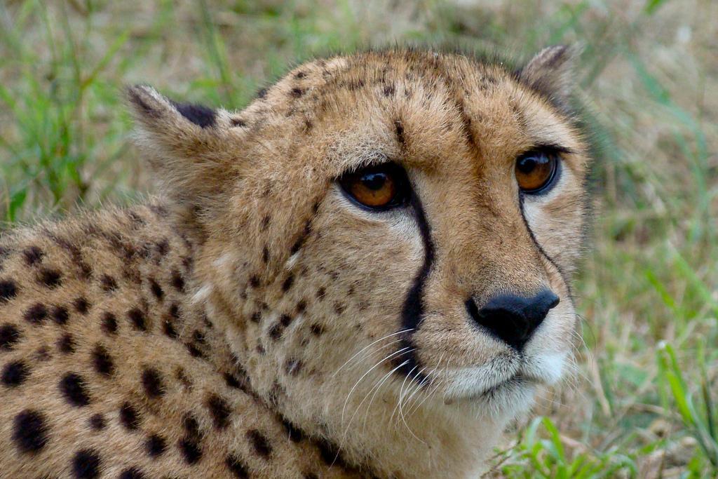 Cheetah. Photo.