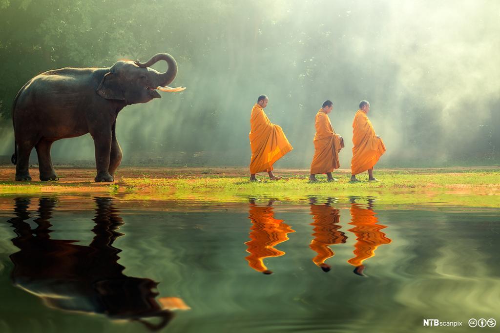 En elefant følger etter tre buddhistmunker med orange kjortler. Foto.