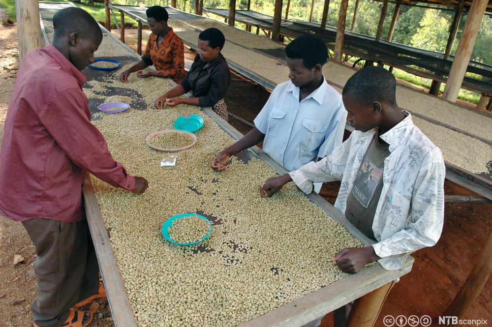Arbeidarar på ein kaffiplantasje sorterer kaffibønner. Foto