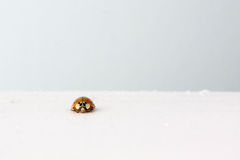 En liten gul marihøne på en svær hvit flate av snø. Fotografi.