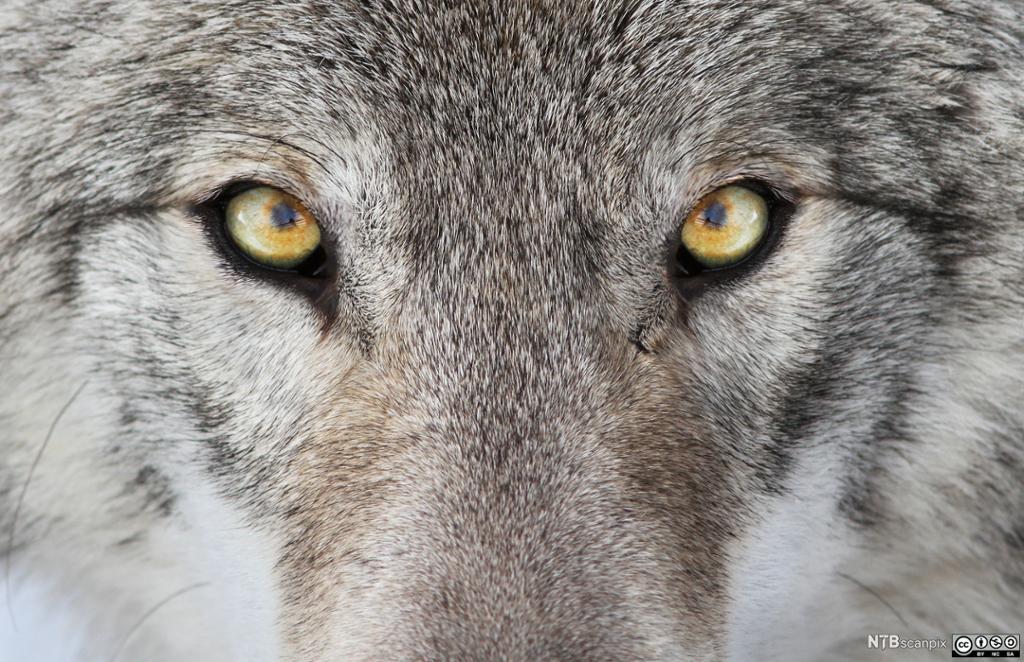 Nærbilde av ulv. Foto.