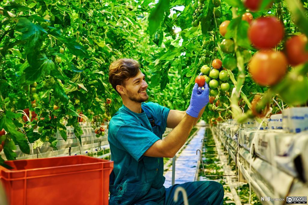 Gartner steller tomatplanter i et drtivhus. foto.