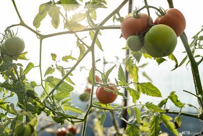 Tomatar som heng på tomatplantar. Foto.
