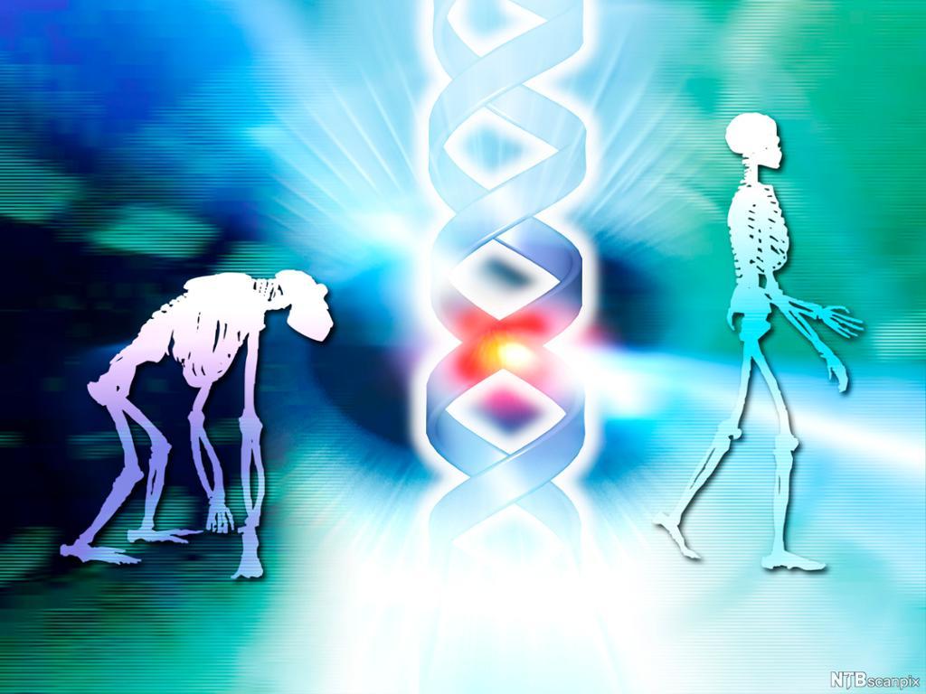 Ape, menneske og DNA. Illustrasjon