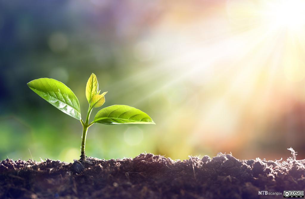 Ung plante som spirer i sollyset. Foto.