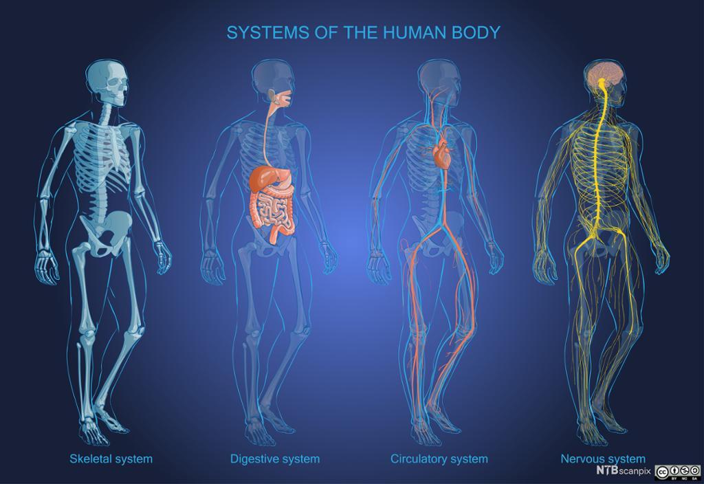 Systemer i menneskekroppen. Illustrasjon.