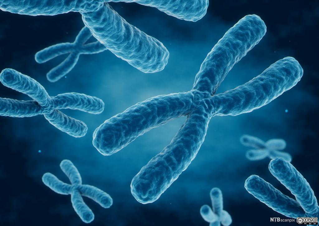 Blåfargede kromosomer på mørk bakgrunn. Foto.