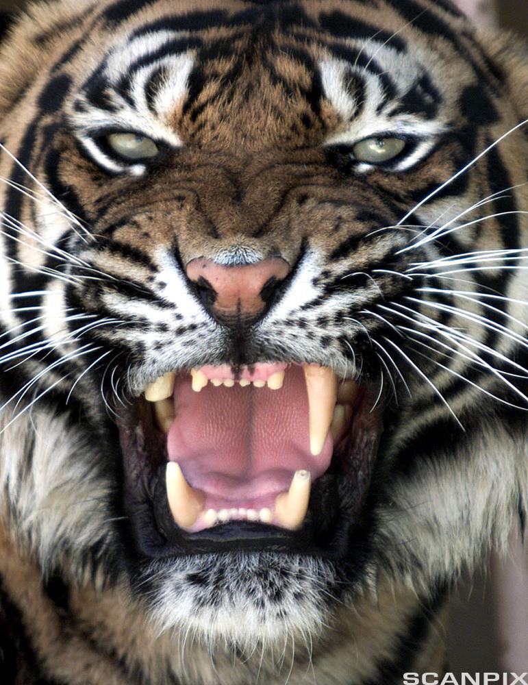 Tiger. Foto.
