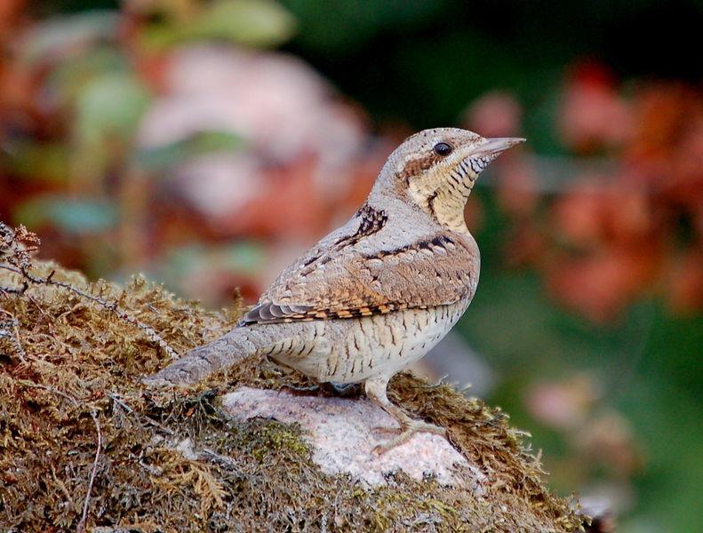 Vendehals - en spettfugl som hekker i Europa.