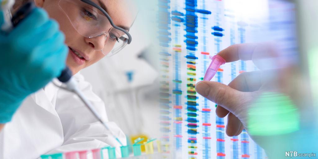 Laboratoriearbeider pipetterer DNA i prøveglass. Foto.