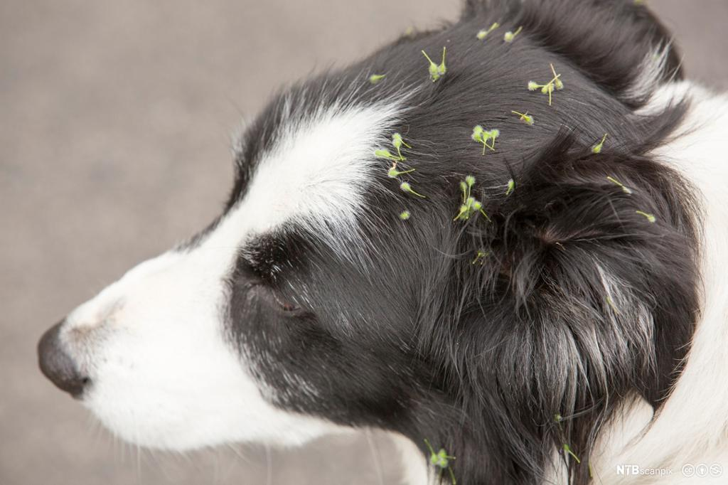 Frø sitter fasti pelsen til hund. Foto.