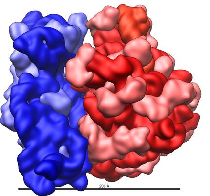 Modell av et ribosom i to deler. Illustrasjon.