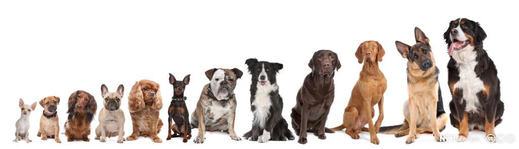 hunder på en rekke, fra liten til stor. Foto.