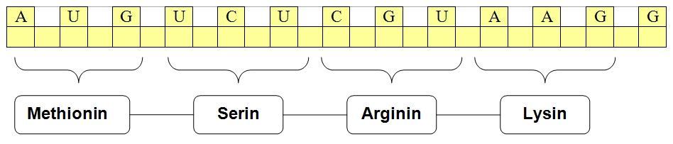 Et stykke mRNA som viser hvilke aminosyrer triplettene koder for.