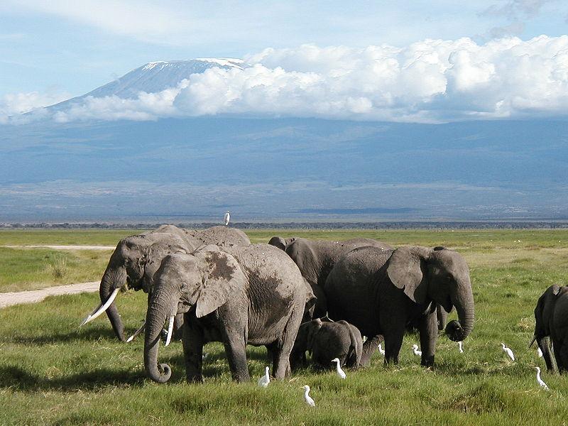 Elefanter ved Kilimanjaro. Foto