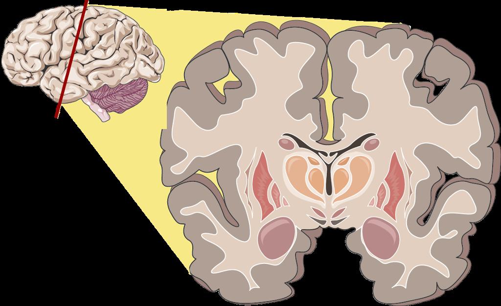 Tverrsnitt av hjernen. Illustrasjon.