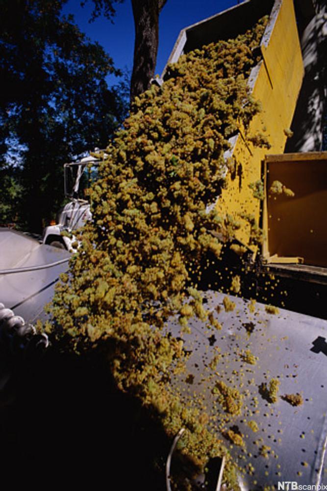 Innhøstede druer helles fra lasteplanet til druekvern. Foto.