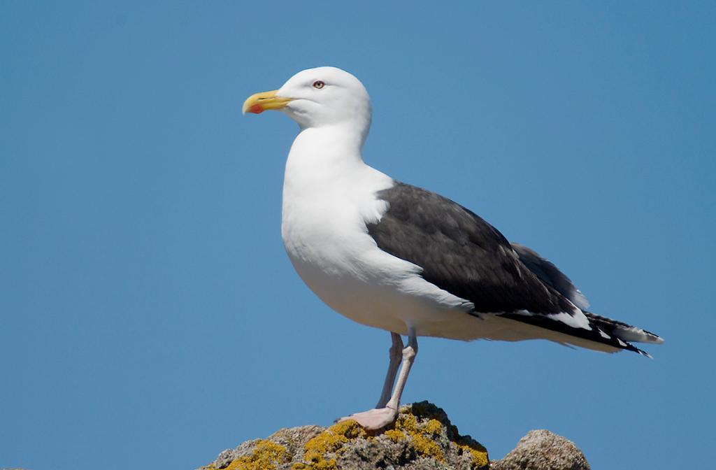Måkefugl på stein. Foto