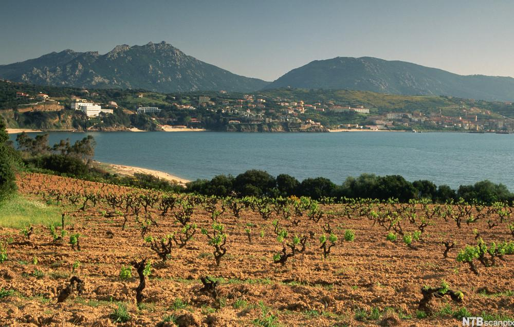 Vinmark på Korsika. Foto.